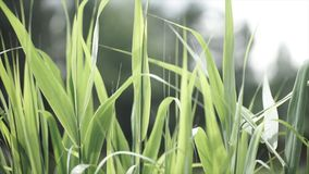 Close up of leaves of immature corn. Immature corn plant with green leafs. Leaves of immature corn Royalty Free Stock Photo