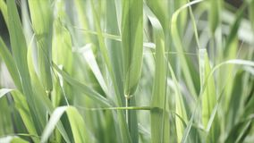 Close up of leaves of immature corn. Immature corn plant with green leafs. Leaves of immature corn Royalty Free Stock Image