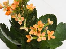 Close-up leaves and orange flowers, Kalanchoe blossfeldiana, with drops of water. stock images