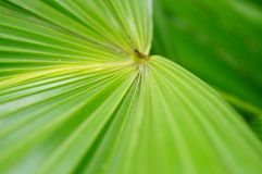 A close-up of the leaves of a palm tree. The close-up of the leaves of the palm tree is very beautiful Royalty Free Stock Photo