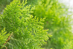 Close up leaves of pine tree or Oriental Arborvitae with space.  Royalty Free Stock Image