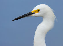 Close up left profile of Snowy egret Stock Photography