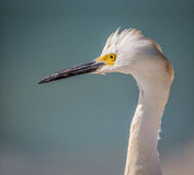 Close up left profile of Snowy egret, wet from fishing Stock Image