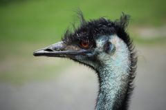 Close-up of Left Side of Emu Face Stock Photo