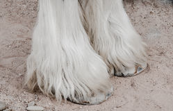 Close up of legs,gypsy vanner horse. Royalty Free Stock Photo