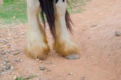 Close up of legs,gypsy vanner horse. Stock Photos