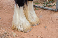 Close up of legs,gypsy vanner horse. Stock Image
