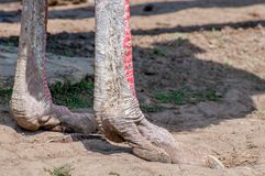 Close-up of the legs of the ostrich, the largest flightless bird. Close-up of the legs of the ostrich, the largest flightless bird Royalty Free Stock Photography