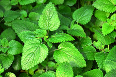 Close up Lemon balm leaves, melissa officinalis. Stock Photo