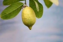 Lemon fruit. The close-up a lemon fruit on branch. Scientific name: Citrus limon Royalty Free Stock Photos
