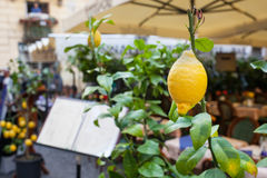 Close up of a lemon outside a restaurant in Sorrento. Stock Photography