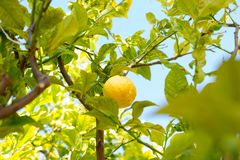 Close-up of lemon on tree stock images