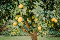 Backyard lemon tree full of healthy citrus fruit. Close up of a lemon tree full of healthy organic fruit ready to be picked royalty free stock image