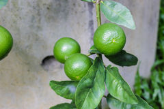 Close up lemon tree, green lime tree. Green lime tree hanging branches.  stock photo