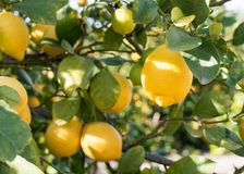 Close up of lemons on a tree stock image