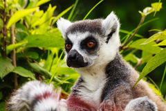 Close-up  of a lemur of madagascar. In the vegetation emerges a nice lemure posing as a model for a photography Royalty Free Stock Images