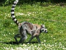 Close-up of a lemur Maki-catta Stock Image