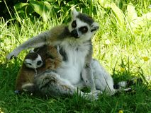 Close-up of a lemur Maki-catta Royalty Free Stock Images