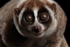 Close-up Lemur Slow Loris Isolated Black background. Close-up Face of Cute Lemur Slow Loris Stare Isolated Black background Royalty Free Stock Images