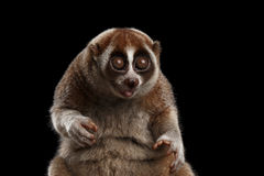 Close-up Lemur Slow Loris Isolated Black background. Close-up Face of Funny Animal Lemur Slow Loris Sitting and Stare with opened mouth Isolated Black background Royalty Free Stock Image