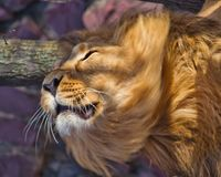 Close-up- Leo shakes mane. Powerful male lion with a lush beautiful hairy mane R stock photography