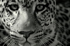 Close up of a leopard Royalty Free Stock Image