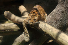 Close up Leopard Royalty Free Stock Photos