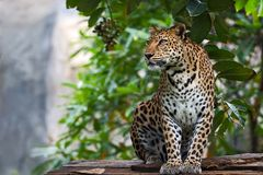 Close up Leopard. The leopard is focusing on something seriously stock photography