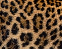 Leopard fur background. Close up leopard fur background Royalty Free Stock Images