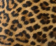 Leopard fur background. Close up leopard fur background Royalty Free Stock Image