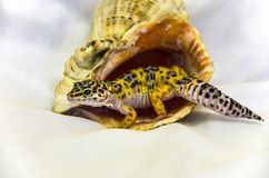 Close-up of a leopard gecko eublephar living in a seashell with a soft white back background royalty free stock photo