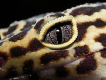 Close Up of Leopard Gecko Eye stock photos