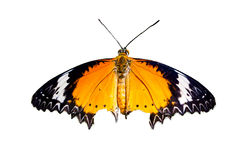 Close up of Leopard Lacewing butterfly with open wings in a top view. Close up of the colorful butterfly (Leopard Lacewing butterfly) with open wings Stock Photo