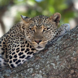 Close-up of a leopard lying Royalty Free Stock Image