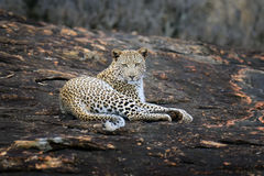 Close-up leopard in National park of Kenya Royalty Free Stock Image