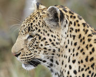 Close-up of Leopard; Panthera pardus; South Africa. Close-up of Leopard looking side-ways; Panthera pardus; South Africa Royalty Free Stock Photo