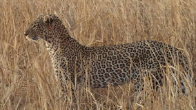 A close up of leopard patterns stock footage