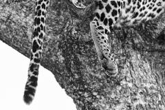 Close-up of a leopard paw artistic conversion Stock Photography