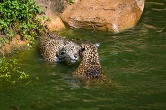 Leopard. Close up Leopard in a pond Royalty Free Stock Photos