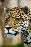 Close up Leopard Portrait Royalty Free Stock Image