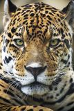 Close up Leopard Portrait Stock Image
