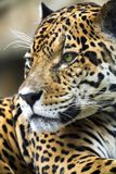 Close up Leopard Portrait Stock Photos