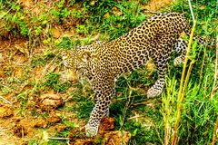 Close Up of a Leopard roaming along the Olifants River in Kruger National Park Stock Photo