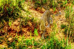 Close Up of a Leopard roaming along the Olifants River in Kruger National Park Royalty Free Stock Photography