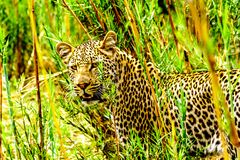 Close Up of a Leopard roaming along the Olifants River in Kruger National Park Royalty Free Stock Images
