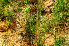 Close Up of a Leopard roaming along the Olifants River in Kruger National Park Stock Images