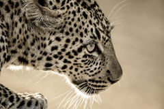 Close-up of a leopard in Serengeti National Park Stock Photos