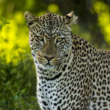 Close-up of a Leopard, Serengeti Stock Photos