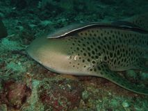Close-up Leopard shark. Macro Leopard shark with echeneis.Similan Islands stock image