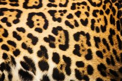 Close up leopard spot pattern texture. Background Royalty Free Stock Photography